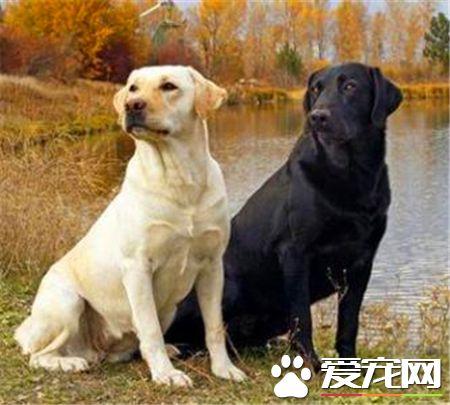 拉布拉多寻回犬和金毛哪个好养一些 都非常的好养
