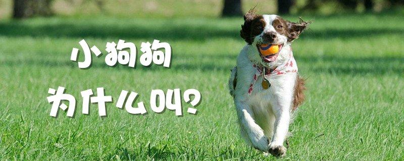 小狗狗为什么叫