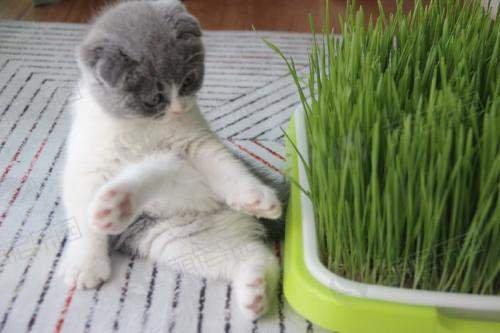 猫草对于猫咪有什么好处?应该如何种植