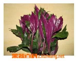 紫背菜的功效与作用