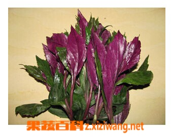 果蔬百科紫背菜