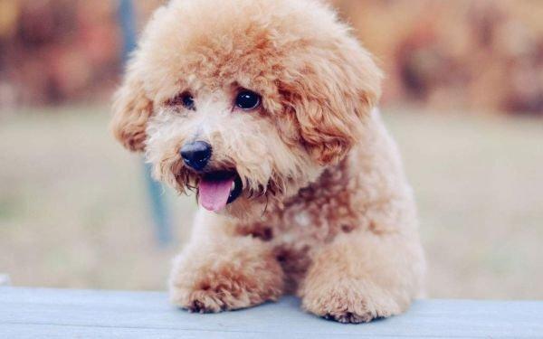 泰迪狗怎么看纯不纯